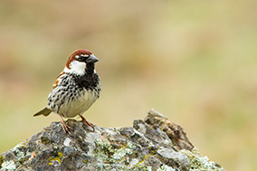the house sparrow - also called just sparrow - is one of the most well-known and widespread songbirds.